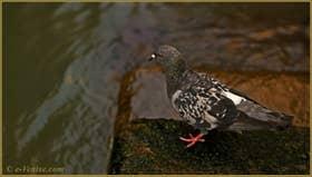Pigeon vénitien dans les reflets du rio della Pergola, dans le Sestier de Santa Croce à Venise