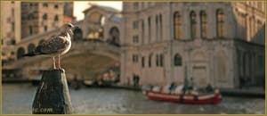 Mouette sur le Grand Canal de Venise, vu depuis le Campiello del Remer, dans le Sestier du Cannaregio à Venise.