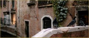 Pigeons, Fondamenta de le Erbe, dans le Sestier du Cannaregio à Venise.