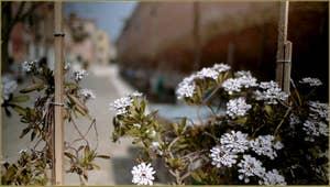 Prémisses du printemps sur le Campo de le Gorne, dans le Sestier du Castello à Venise.