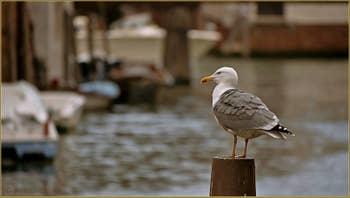 Goéland sur le rio de la Sensa, dans le Sestier du Cannaregio à Venise.