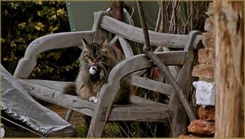 Joli chat vénitien faisant sa petite toilette dans son jardin.