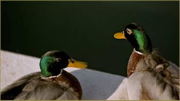 Venise : une super belle pateaugoire pour les canards !