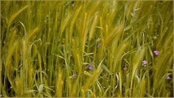 Les herbes hautes, pas encore coupées, sur le Campo San Pietro, dans le Sestier du Castello à Venise.