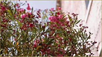 Lauriers roses, le long du rio de la Toletta, dans le Sestier du Dorsoduro à Venise.