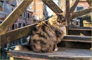 Le chat du pont dei Muti, dans le Sestier du Cannaregio à Venise.