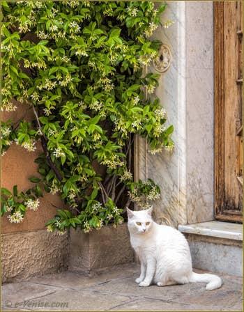 Le Chat blanc de la Calle de l'Anzolo, dans le Sestier du Castello à Venise.