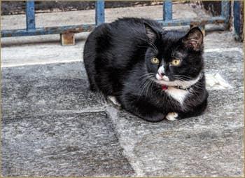 Jeune Chat Vénitien aux Ormesini