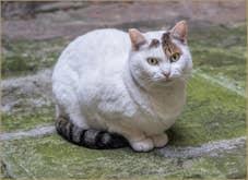 Petite Chatte blanche Vénitienne