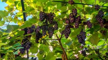 Les grappes de Fragolino sous la tonnelle